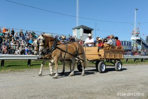 Haflinger in Parade 2013